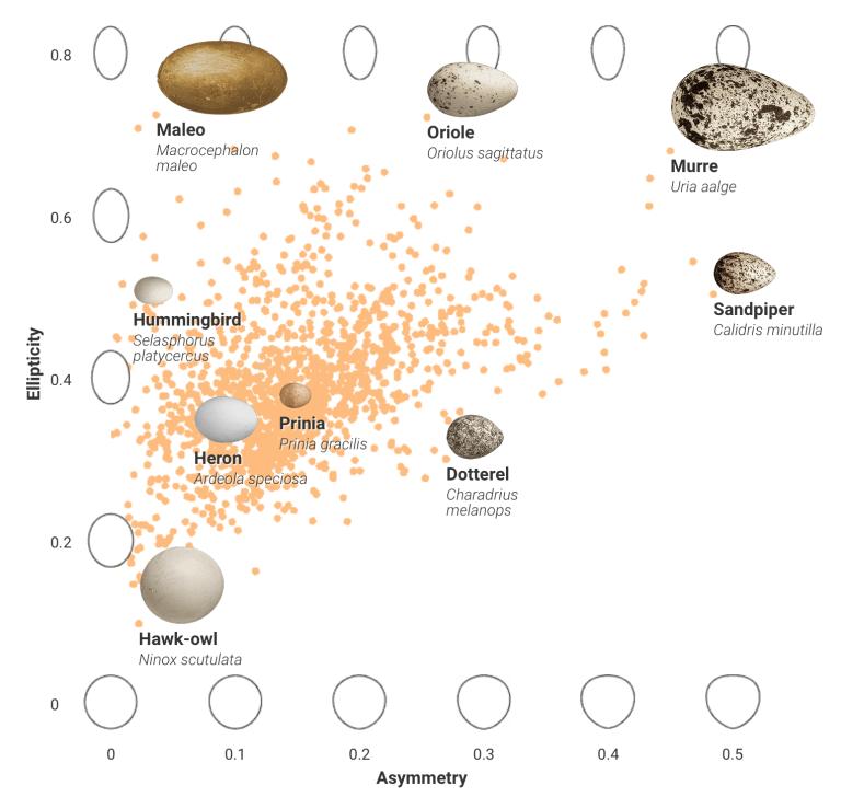 Shape-of-eggs